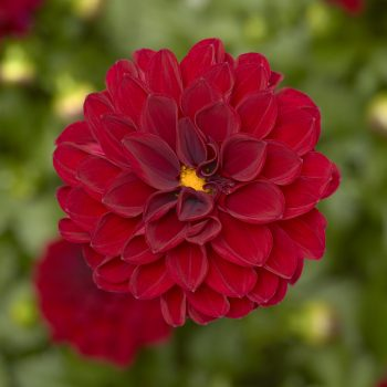 Dahlia Madalio Burgundy from Syngenta Flowers - Year of the Dahlia - National Garden Bureau