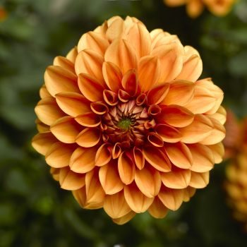 Dahlia Madalio Orange from Syngenta Flowers - Year of the Dahlia - National Garden Bureau