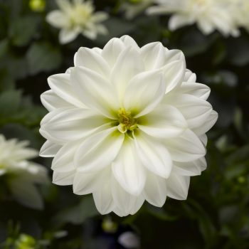 Dahlia Madalio White from Syngenta Flowers - Year of the Dahlia - National Garden Bureau