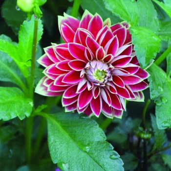 Dahlia Maxime from Brent and Beckys - Year of the Dahlia - National Garden Bureau