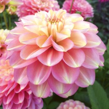 Dahlia Milena Fleur from Van Zyverden - Year of the Dahlia - National Garden Bureau
