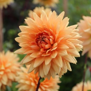 Dahlia Noordwijks Glorie from Longfield Gardens - Year of the Dahlia - National Garden Bureau