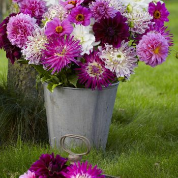 Dahlia Rose Mix from Longfield Gardens - Year of the Dahlia - National Garden Bureau