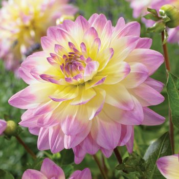 Dahlia Sagitta from Van Zyverden - Year of the Dahlia - National Garden Bureau