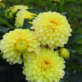 Dahlia Serenade from Brent and Beckys - Year of the Dahlia - National Garden Bureau