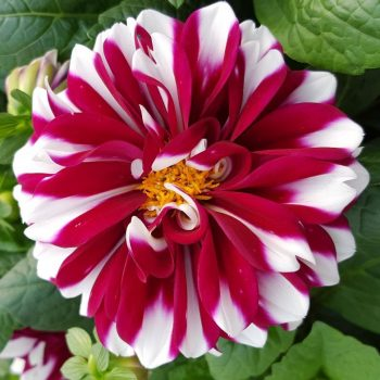 Dahlia Starsister Red Stripes from Dummen Orange - Year of the Dahlia - National Garden Bureau