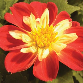 Dahlia Starsister Scarlet and Yellow from Dummen Orange - Year of the Dahlia - National Garden Bureau