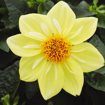 Dahlia Starsister Yellow and White from Dummen Orange - Year of the Dahlia - National Garden Bureau