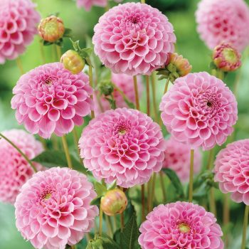 Dahlia Stolze Von Berlin from Van Zyverden - Year of the Dahlia - National Garden Bureau
