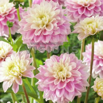 Dahlia Sweet Love from Flamingo Holland - Year of the Dahlia - National Garden Bureau