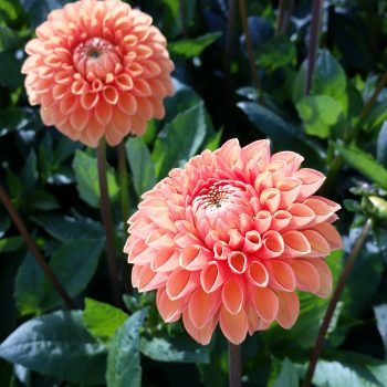 Dahlia Sylvia from Flamingo Holland - Year of the Dahlia - National Garden Bureau