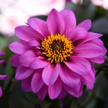 Dahlia Temptation Lavender from Dummen Orange - Year of the Dahlia - National Garden Bureau