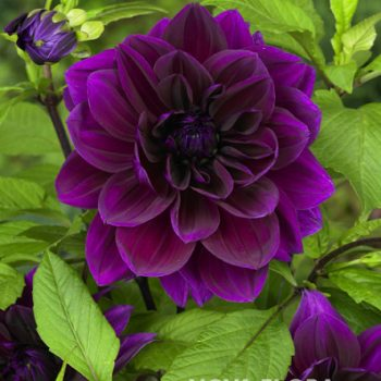 Dahla Thomas A Edison from Flamingo Holland - Year of the Dahlia - National Garden Bureau
