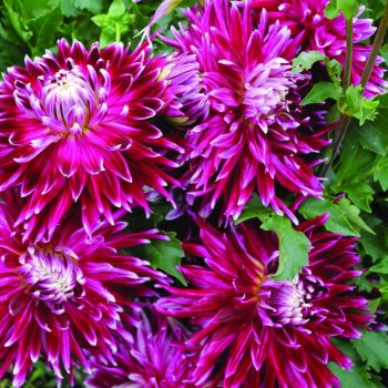 Dahlia Vancouver from Brent and Beckys - Year of the Dahlia - National Garden Bureau