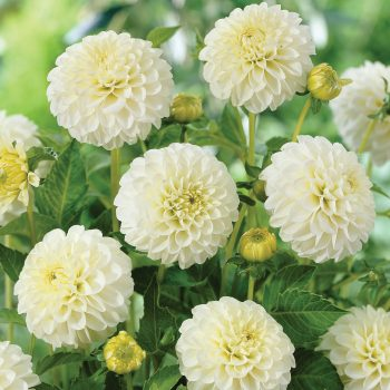 Dahlia White Aster from Van Zyverden - Year of the Dahlia - National Garden Bureau