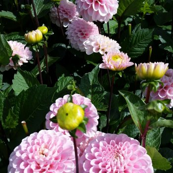 Dahlia Wizard of Os by Flamingo Holland - Year of the Dahlia - National Garden Bureau