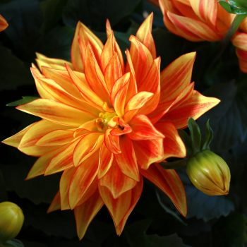 Dahlia XXL Baja Sol from Dummen Orange - Year of the Dahlia - National Garden Bureau