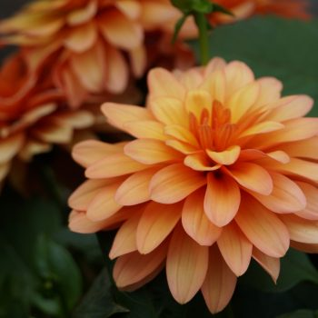 Dahlia XXL Hidalgo from Dummen Orange - Year of the Dahlia - National Garden Bureau