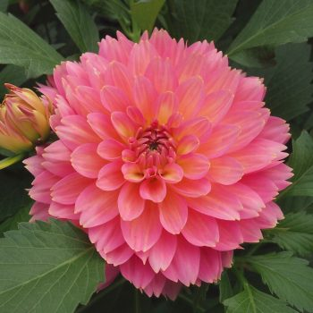 Dahlia XXL Merida from Dummen Orange - Year of the Dahlia - National Garden Bureau