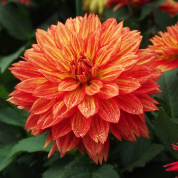 Dahlia XXL Tabasco from Dummen Orange - Year of the Dahlia - National Garden Bureau