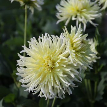 Dahlia Yellow Star from Longfield Gardens - Year of the Dahlia - National Garden Bureau