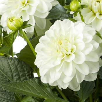 Dahlia Pinnata Labella Maggiore White from Beenkenkamp - Year of the Dahlia - National Garden Bureau
