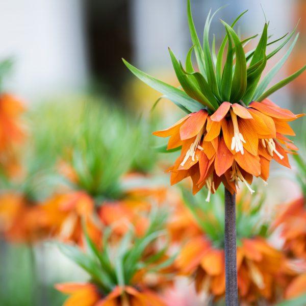 Fritillaria imperialis - Longfield Gardens - National Garden Bureau