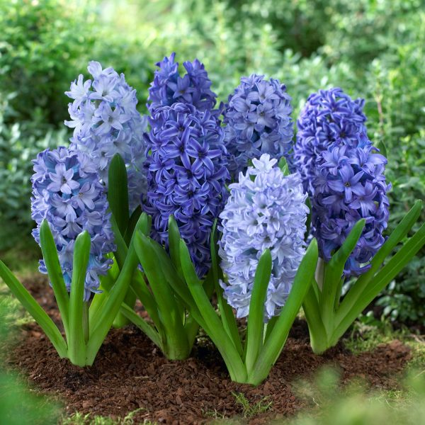 Hyacinth-Shades-of-Blue - Longfield-Gardens - National Garden Bureau
