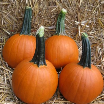 Pumpkin Baby Pam by Garden Trends - Year of the Pumpkin - National Garden Bureau