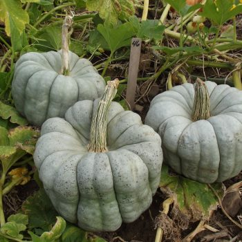 Pumpkin Blue Doll by Garden Trends - Year of the Pumpkin - National Garden Bureau