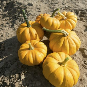 Pumpkin Jack Be Little by Seeds By Design - Year of the Pumpkin - National Garden Bureau