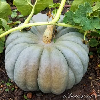Pumpkin Jarradale by Botanical Interests - Year of the Pumpkin - National Garden Bureau