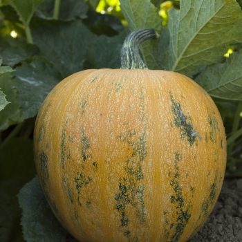 Pumpkin Lady Godiva by Seeds By Design - Year of the Pumpkin - National Garden Bureau