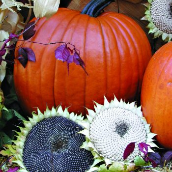 Pumpkin Magic Lantern by Territorial Seeds - Year of the Pumpkin - National Garden Bureau