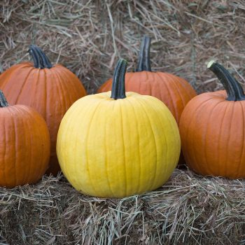 Pumpkin Mellow Yellow by Johnnys Selected Seeds - Year of the Pumpkin - National Garden Bureau