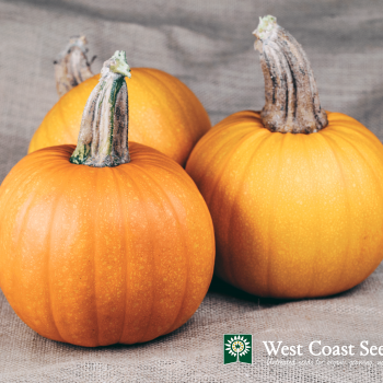 Pumpkin Naked Bear by West Coast Seeds - Year of the Pumpkin - National Garden Bureau