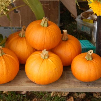 Pumpkin New England Pie by American Meadows - Year of the Pumpkin - National Garden Bureau