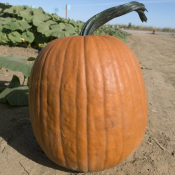 Pumpkin OI Zeb by Seeds By Design - Year of the Pumpkin - National Garden Bureau