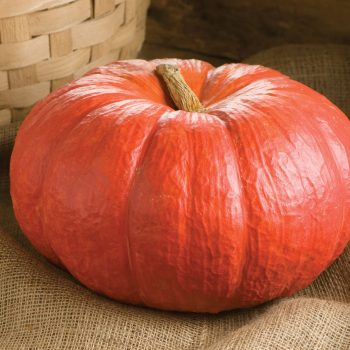 Pumpkin Rouge Vif D'Etampes by Johnnys Selected Seeds - Year of the Pumpkin - National Garden Bureau