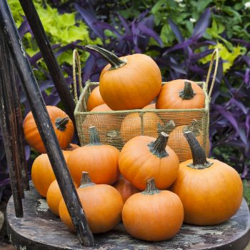 Pumpkin Wee B Little by Bonnie Plants - Year of the Pumpkin - National Garden Bureau