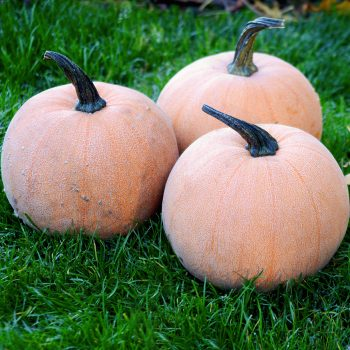 Pumpkin Winter Luxury by Territorial Seed Company - Year of the Pumpkin - National Garden Bureau