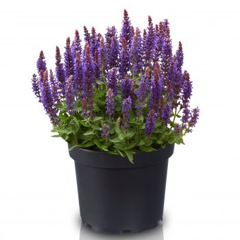 Salvia Blue Bouquetta from Concept Plants - Year of the Salvia - National Garden Bureau