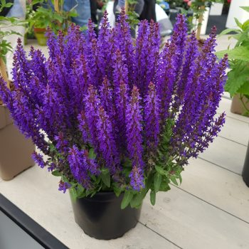 Salvia Blue Bouquetta from Concept Plants - National Garden Bureau