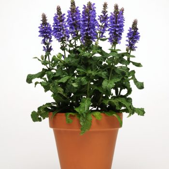 Salvia Blue Marvel by Darwin Perennials - Year of the Salvia - National Garden Bureau