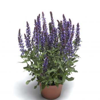 Salvia Bordeau Compact Sky Blue by Syngeta Flowers - Year of the Salvia - National Garden Bureau