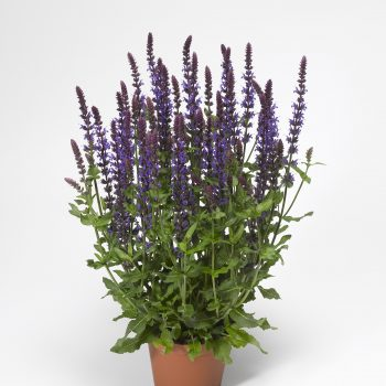 Salvia Bordeau Deep Blue by Syngeta Flowers - Year of the Salvia - National Garden Bureau