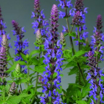 Salvia Bordeau Steel Blue by Syngeta Flowers - Year of the Salvia - National Garden Bureau