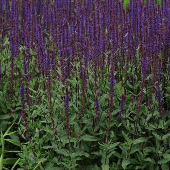 Salvia Burgundy Candles by Darwin Perennials - Year of the Salvia - National Garden Bureau