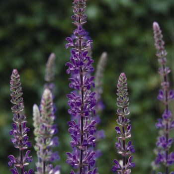 Salvia Caramia by Dummen Orange - Year of the Salvia - National Garden Bureau