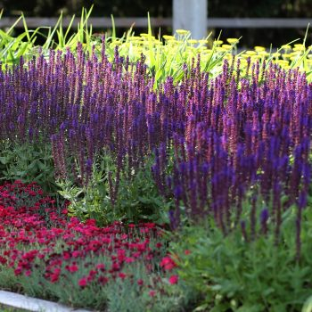 Salvia Lyrical Blues by Darwin Perennials - Year of the Salvia - National Garden Bureau